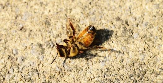 honey-bee-401224_1280.jpg